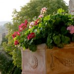 PPO_Oliveto-Loggia--Geraniums-in-pot-IMG_2111