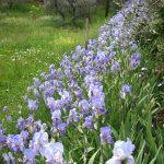 PPO_X-Oliveto-Palazzo-Garden-with-Iris,Peonies,-Olive-trees-04.11P5021876